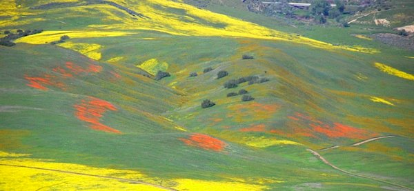 Cuyama Valley Wildflowers